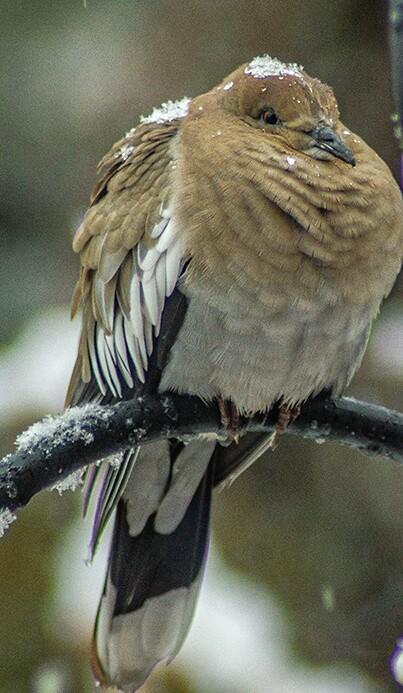 Cold Dove