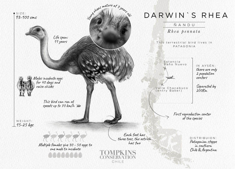 Darwin's rhea graphic (c) Tompkins Conservation Chile