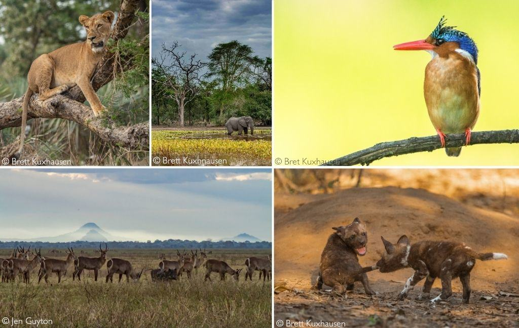 Clockwise from top left: lioness in a tree; elephant in a natural pan; malachite kingfisher; African painted wolf; common waterbuck