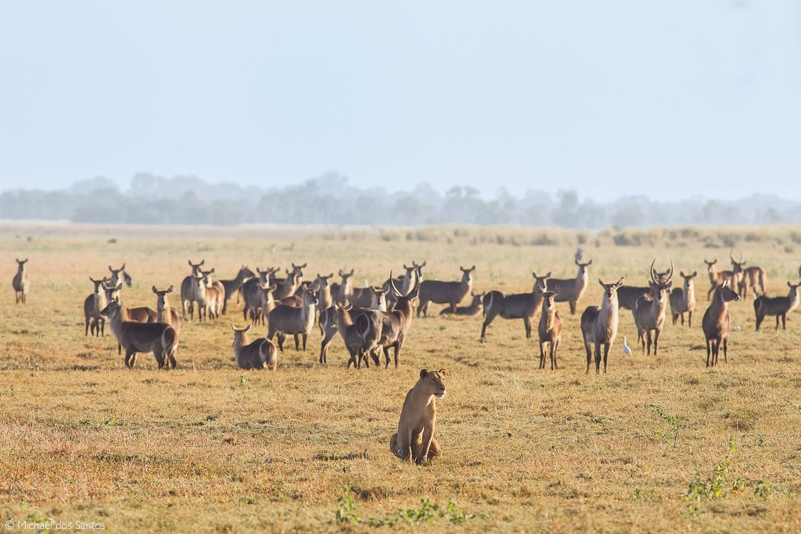 Lion and herd (c) Michael dos Santos
