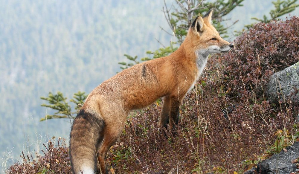 Red Fox by Larry Master