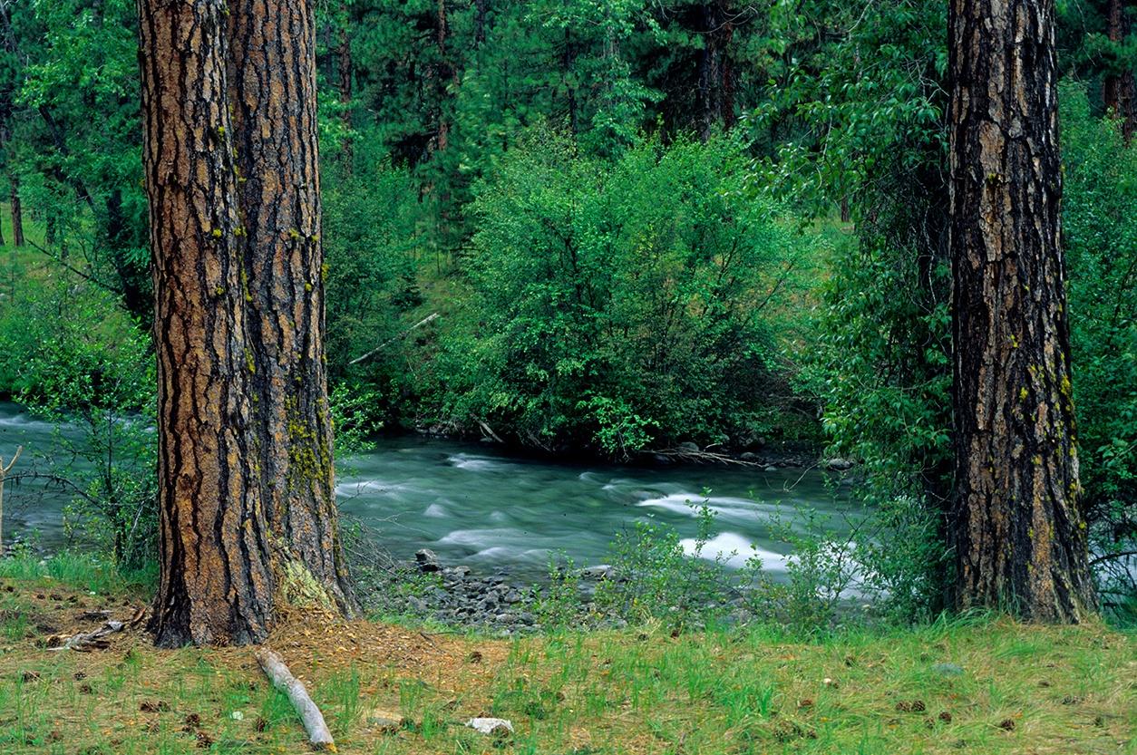 Ponderosa pine along Imnaha W. and S. River, Hells Canyon, NRA, Oregon