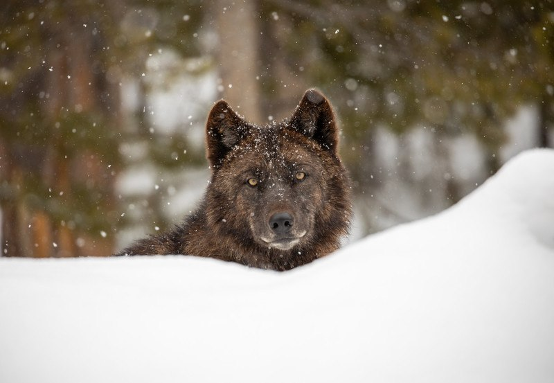 Gray wolf (Canis lupus). Photo courtesy of Jim Peaco, National Park Service.
