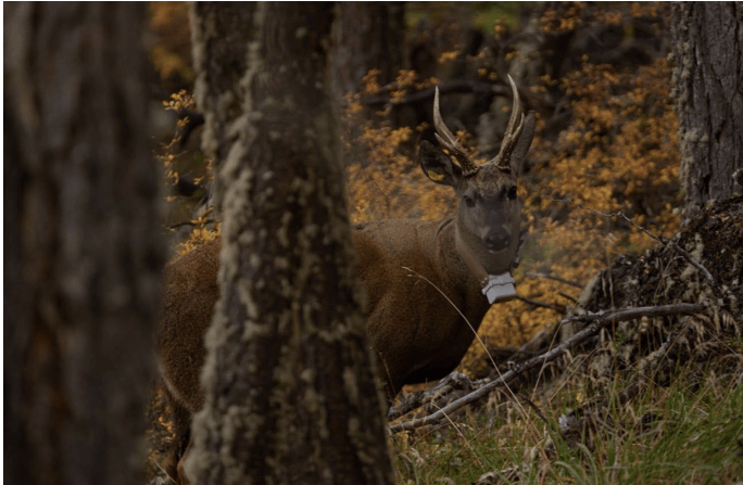 A male huemul deer after being collared
