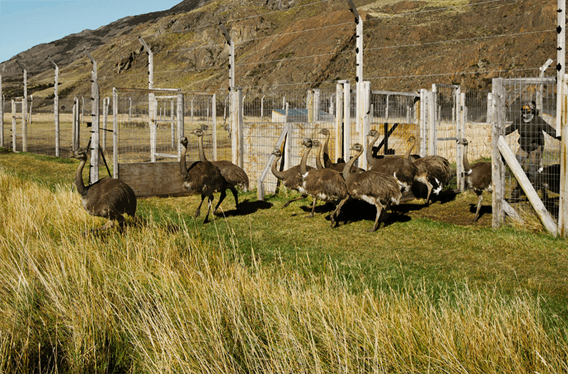 Rewilding the Darwin's Rhea is possible thanks to collaborations with Chile's border police, the National Park Agency (CONAF), and the Wildlife and Livestock Service (SAG).