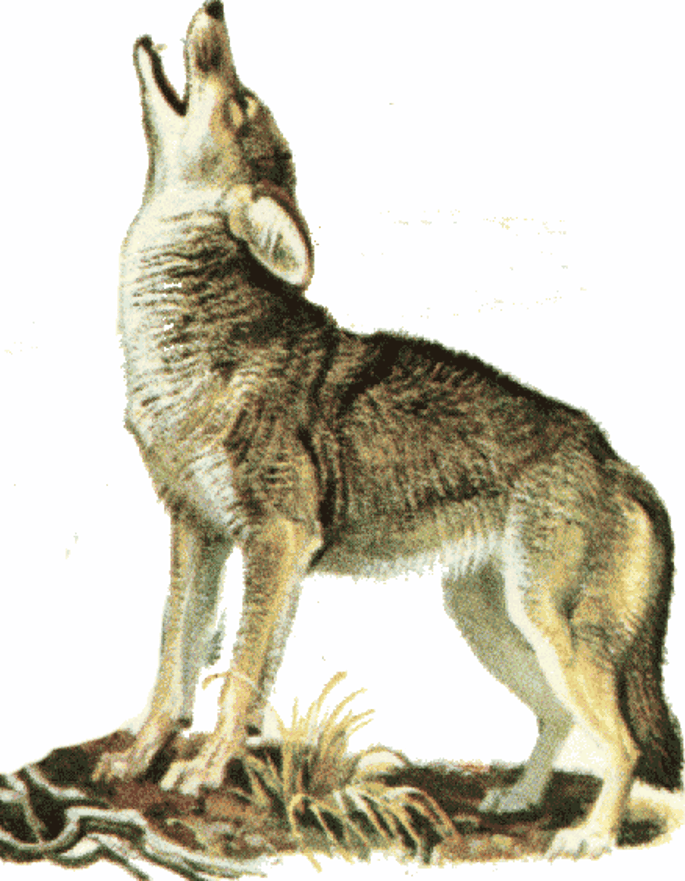 Color coyote howling illustration
