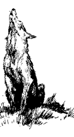 Coyote howling illustration