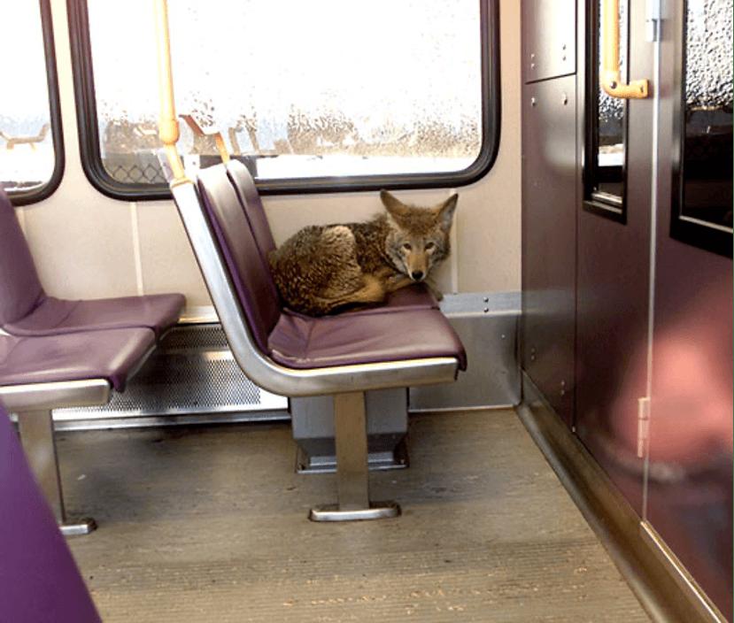 coyote on train