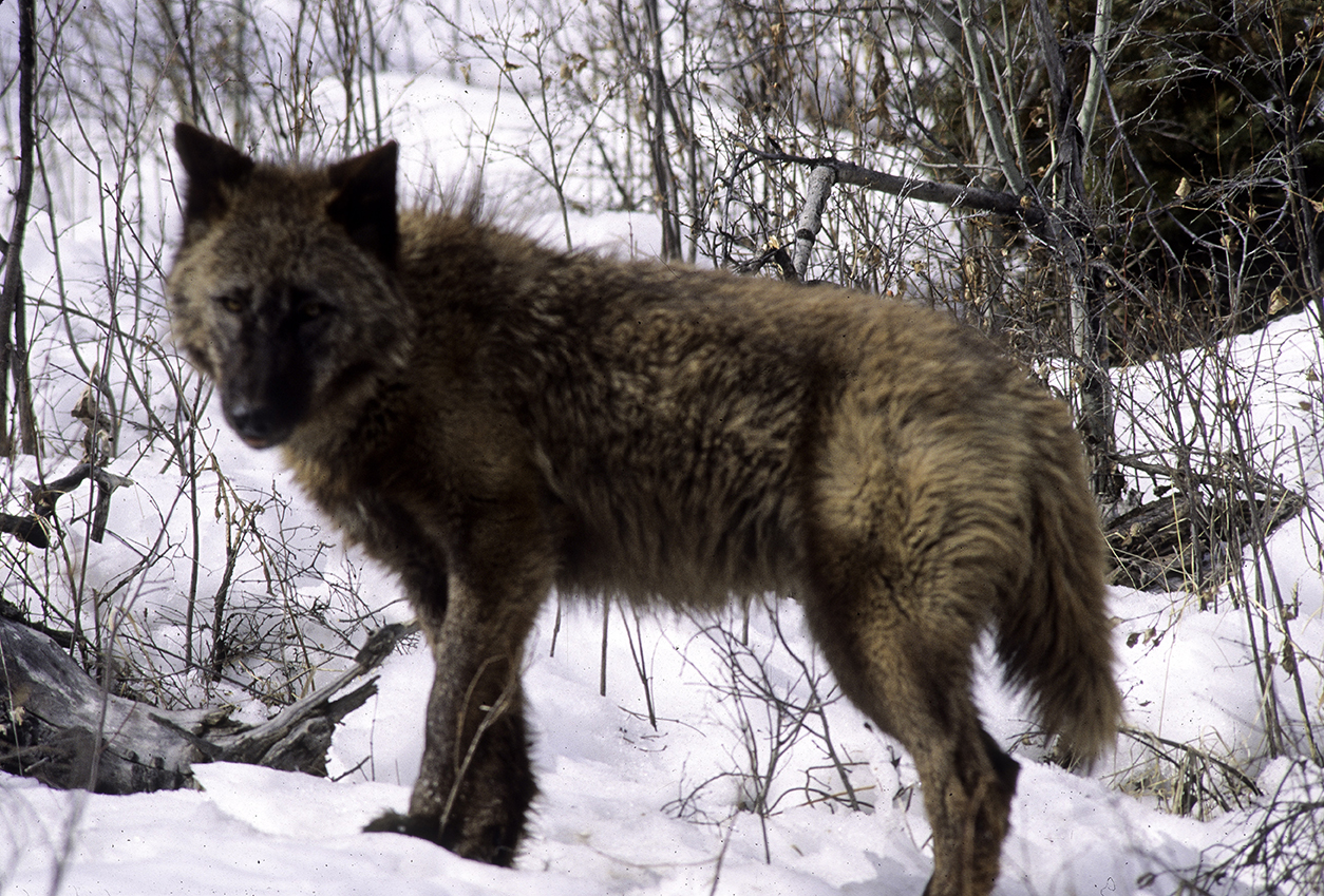 Wolf by George Wuerthner