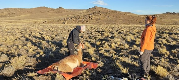 A guanaco being fitted with a GPS collar will join a group of guanacos that we are tracking to understand the species' migration patterns in Patagonia Park, Argentina, and the surrounding area.