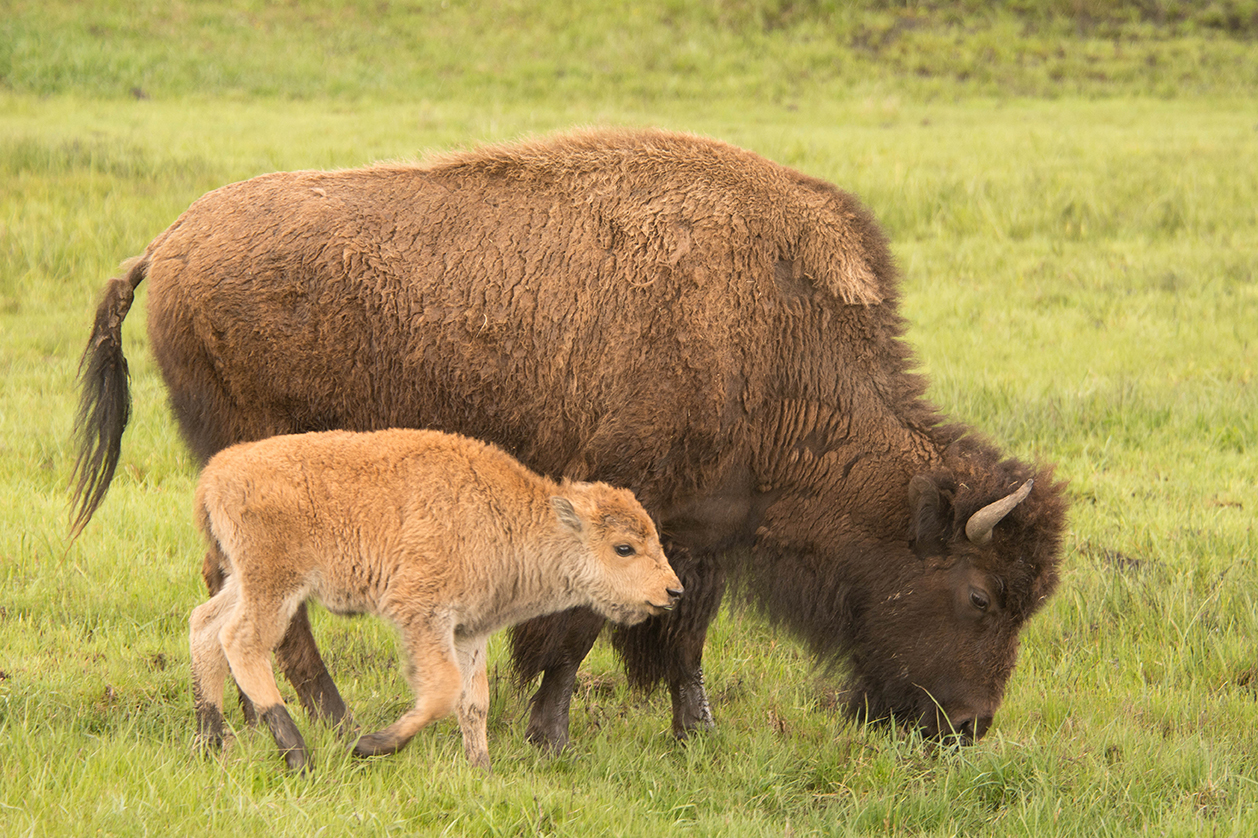 Bison Yellowstone NP by George Wuerthner