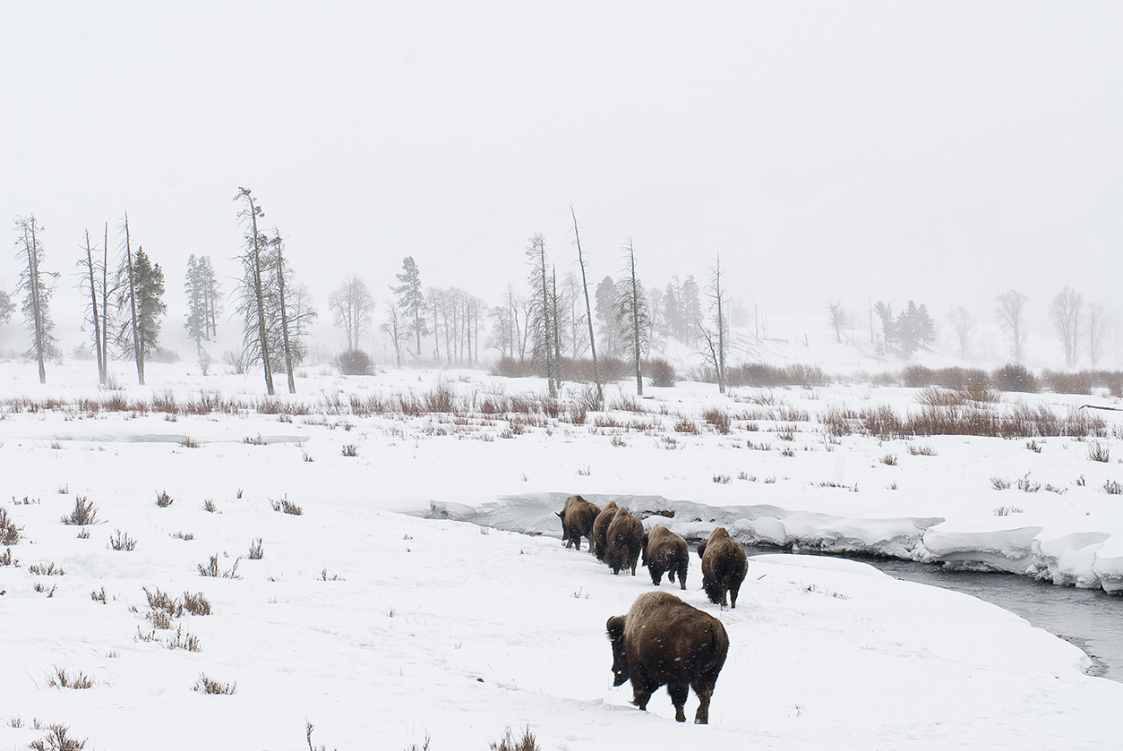 Bison in snowstorm, Blacktail Plateau, Yellowstone NP, Wyoming