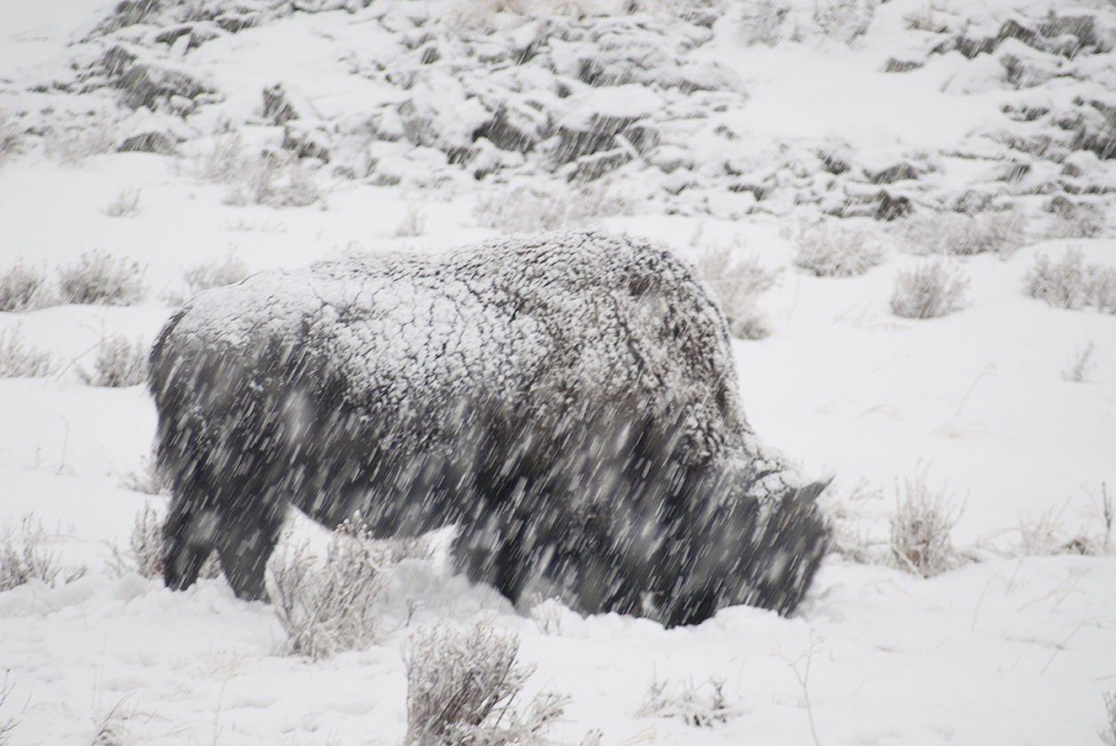 Bison in snowstorm, Yellowstone NP WY