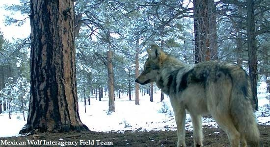 Luna, winter-2011 (c) Mexican Wolf Interagency Field Team