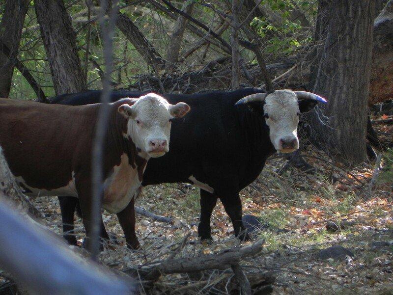 Cows along Bonita Creek on the Johnny Creek Allotment. (Photo credit: Center for Biological Diversity)