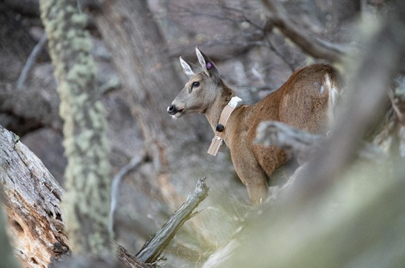 The tracking of huemul deer continues in Argentine Patagonia, with tranquil and healthy tagged individuals. This rarely seen species is also known as 'the ghost of Patagonia.'