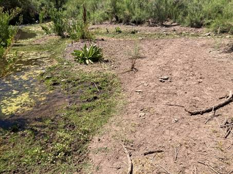 Severe grazing, ground compaction and bank degradation by along Bonita Creek within GBRNCA, 33.042306, -109.561711, June 1, 2021.