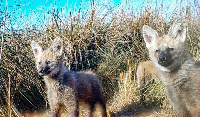 Maned Wolf cubs in Ibera