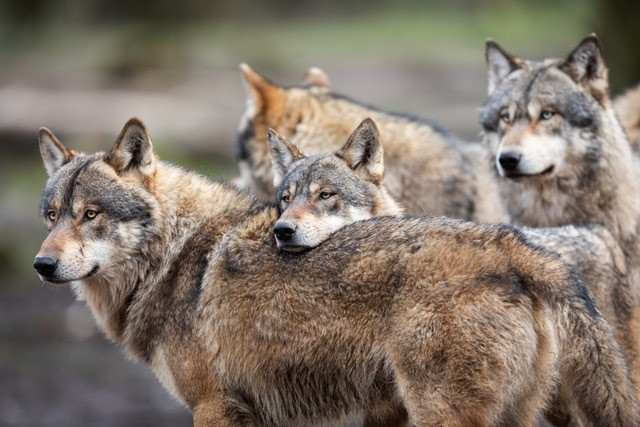 Family of grey wolves